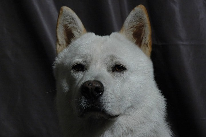 jindo perro