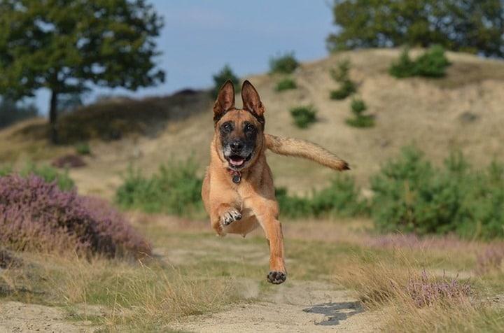 Malinois belga perro