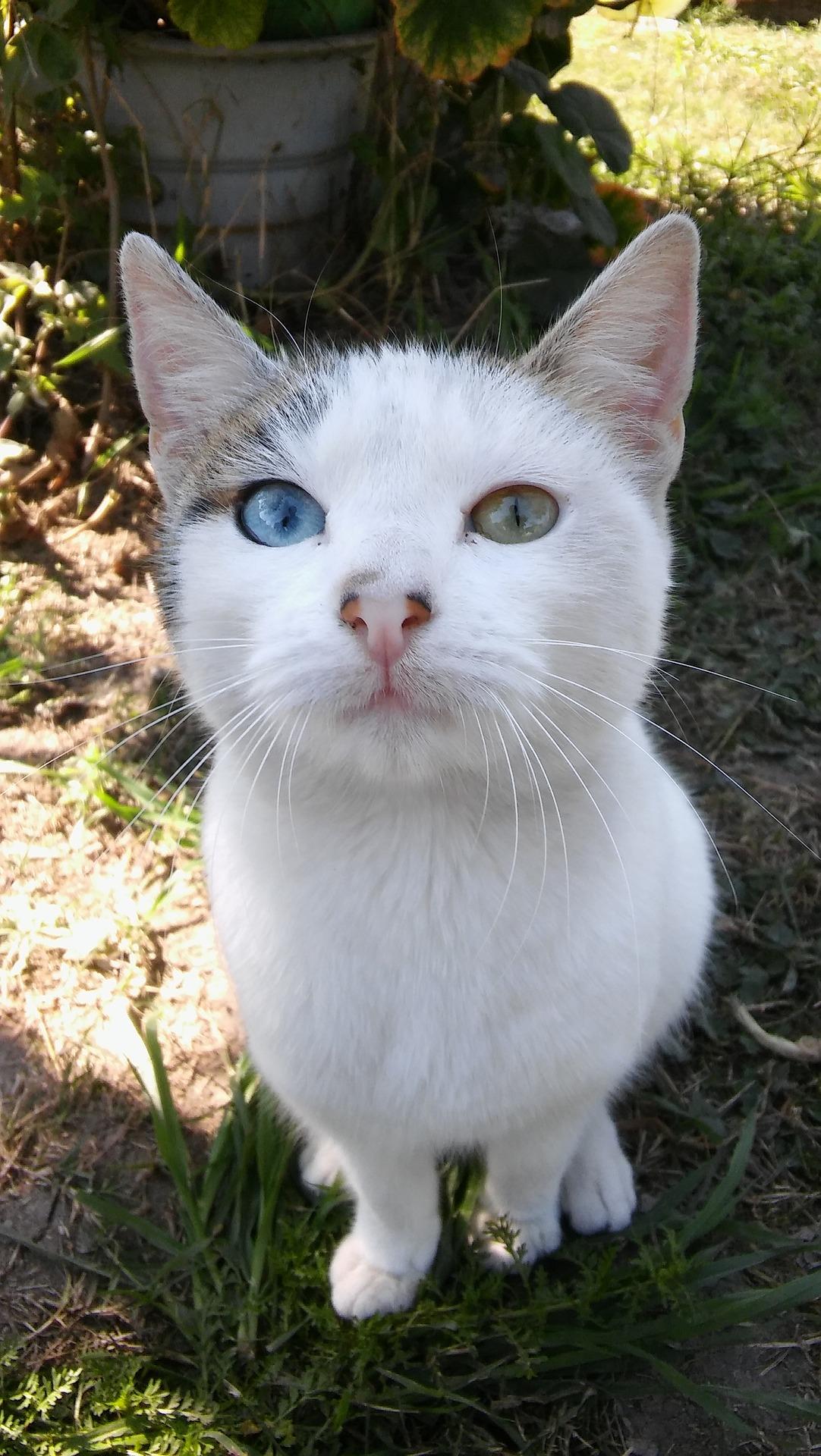 gatto-con-occhi-di-colore-diverso