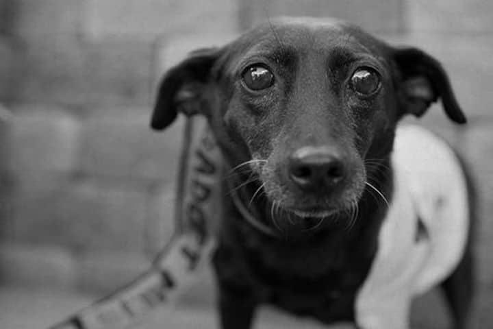 perro anciana adoptada Lionel's Legacy