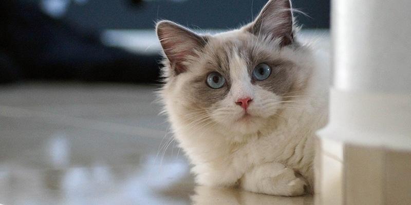 gato ragdoll convivir niños
