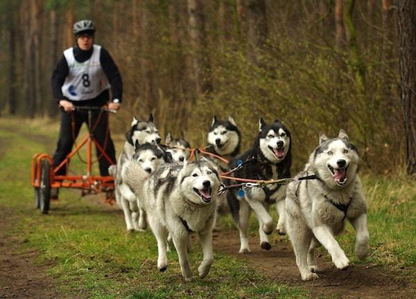 sport per cani da slitta