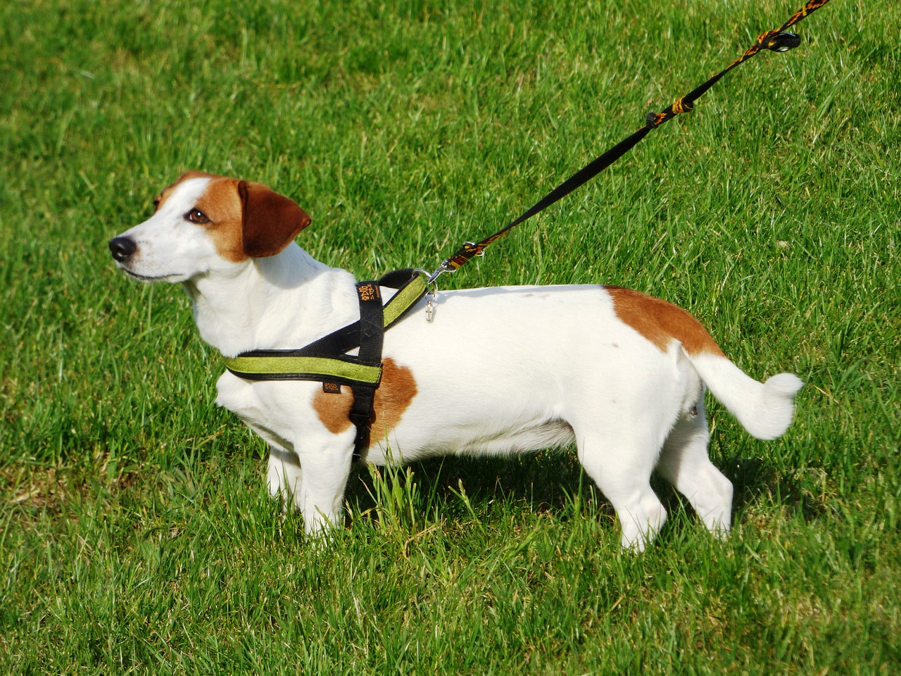 pettorina per cani ad Y