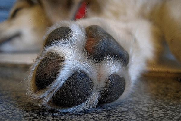 Dog foot pain
