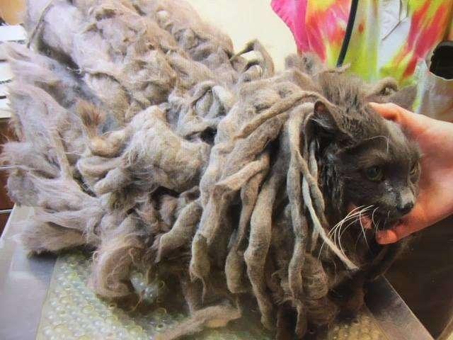gato con un manto de pelo de muchos kilos