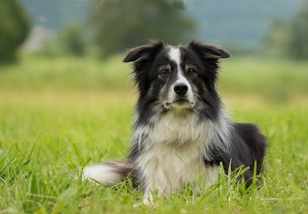 cane-border-collie-sul-prato