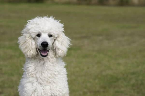 Barboncino bianco che sorride all'obiettivo