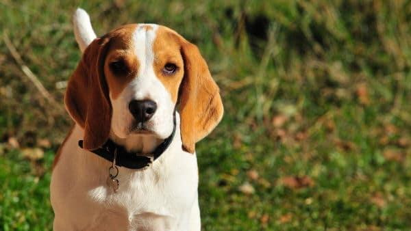 beagle fissa l'obiettivo