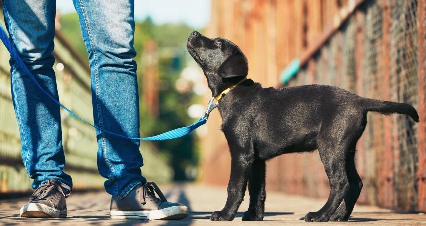 enseñar a un perro a andar con correa