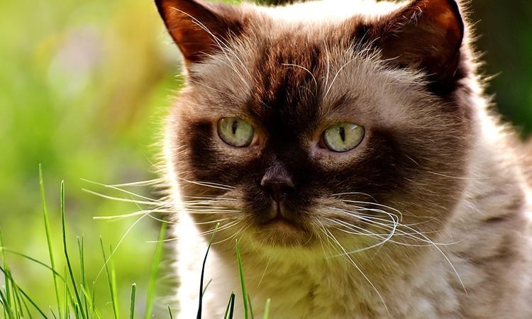 gato birmano diabetes