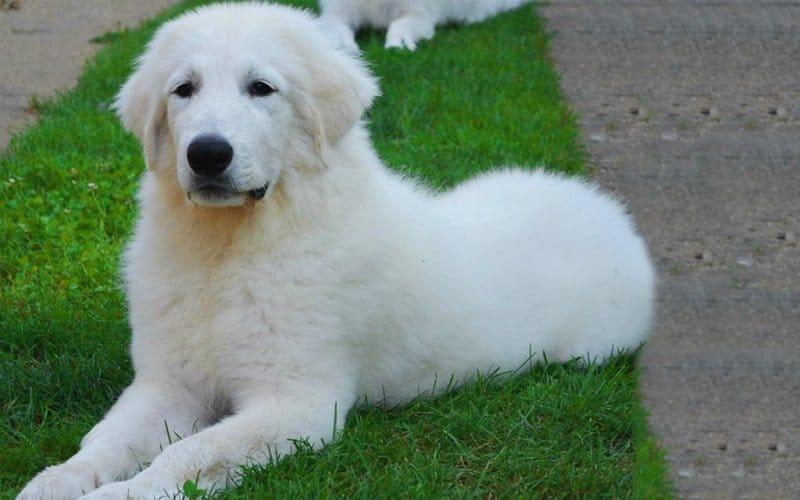 El gran pirineo, otra raza de perro guardián