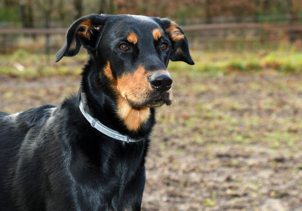 The beauceron: black and brown dog