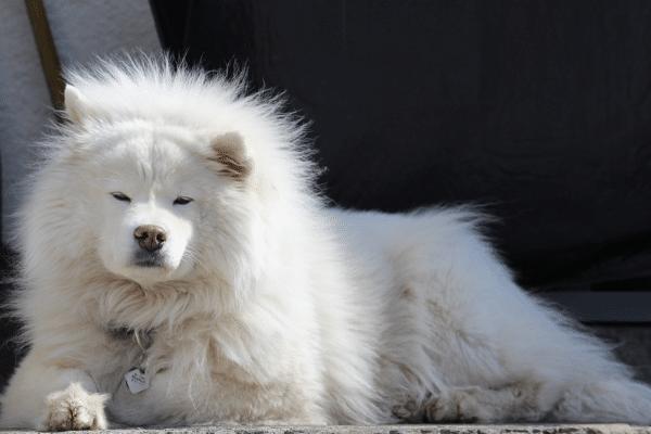 Samoyed white dog