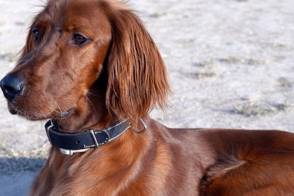 Red coated dog