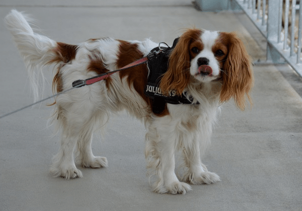 Best first time dog breeds