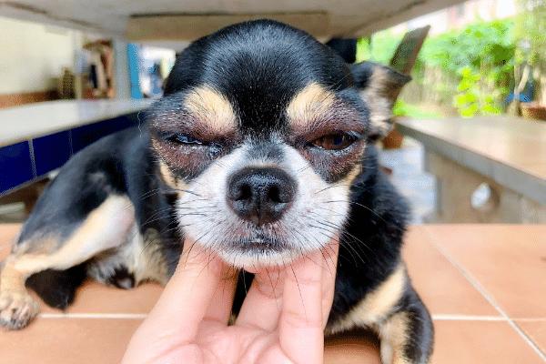 dog conjunctivitis