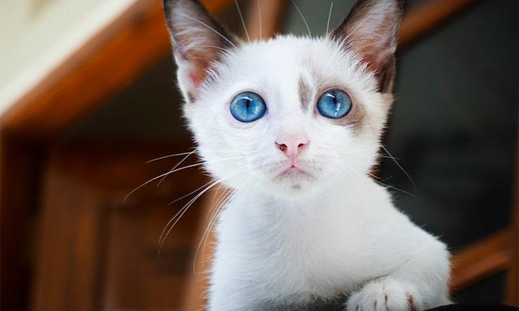 gato doméstico enfermo