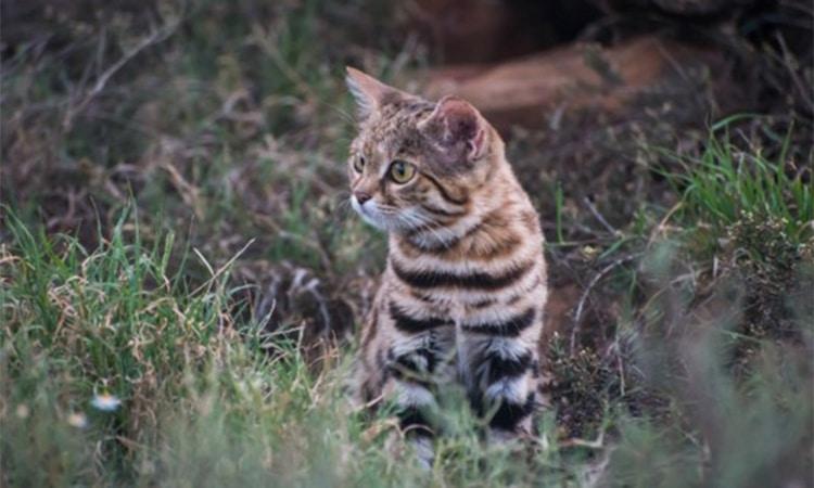 gato patinegro depredador