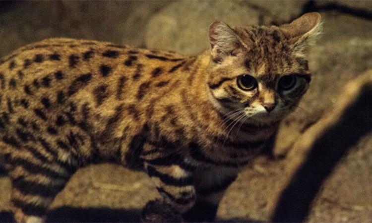 gato patinegro peligroso