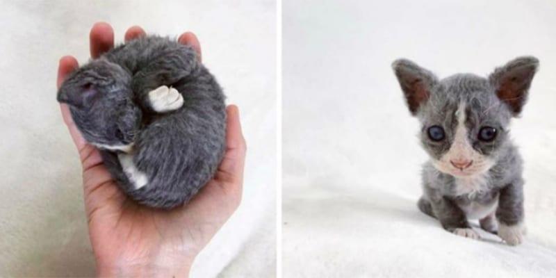 Este gato padece una enfermedad rara