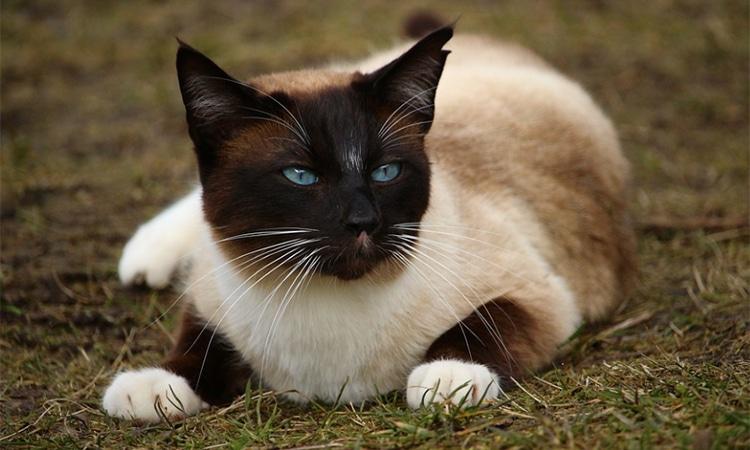 gato siames enfermo hidrocefalia