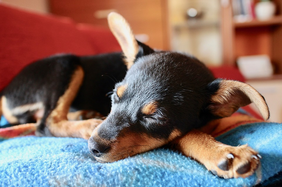 Cleaning a dog's ears will help to prevent infection.