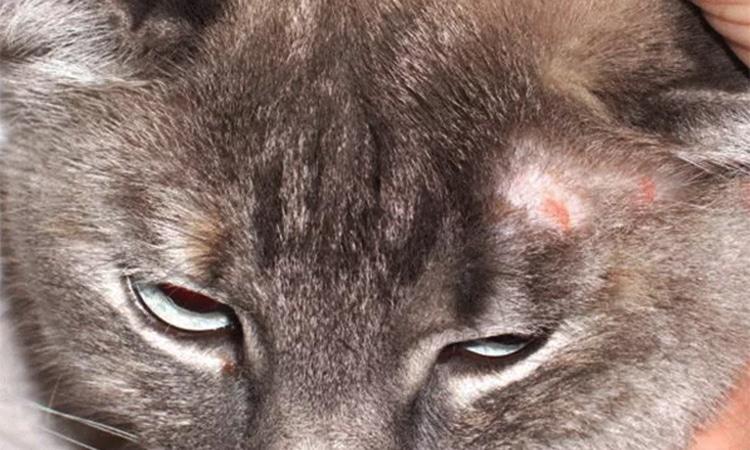gato tiña enfermedades cutaneas