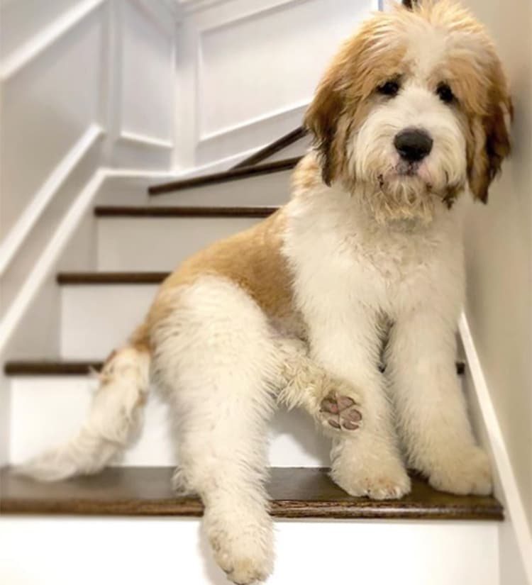 San Berardo y Standard Poodle