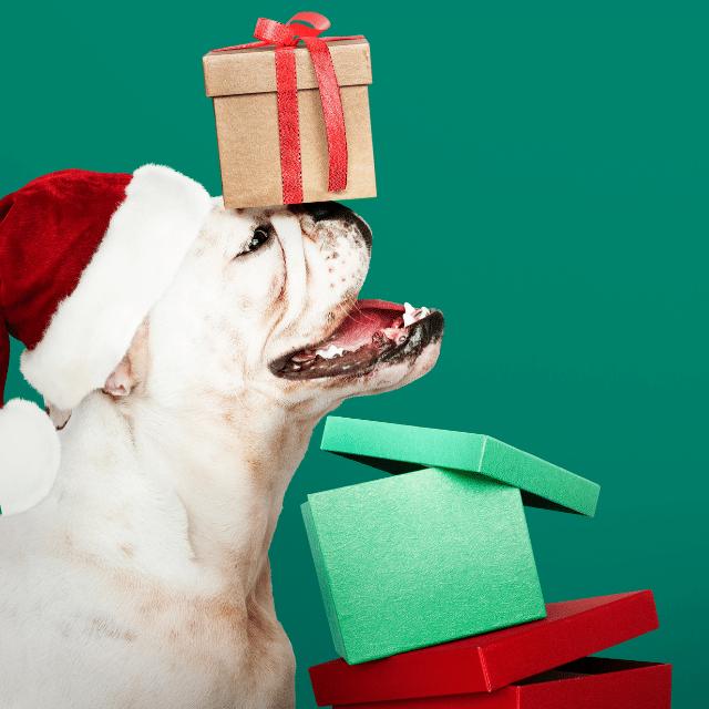 regalar bulldog en navidad