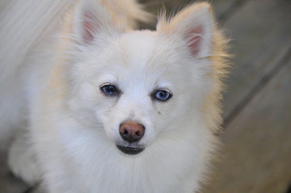 Pomeranian dog.