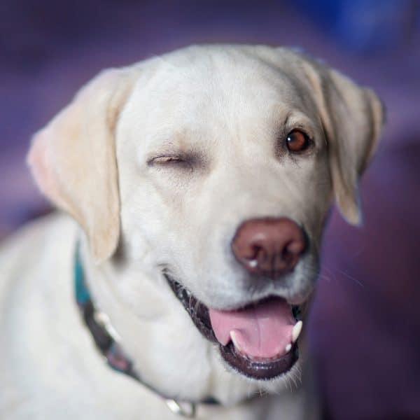 Labrador dog.