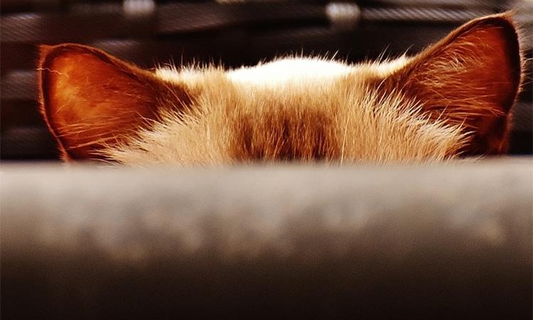 examinar-orejas-gato