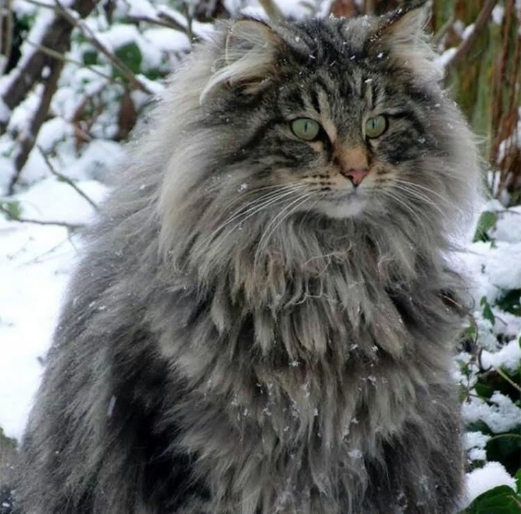 maine-coon-nieve