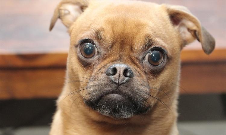 ojos perro significado