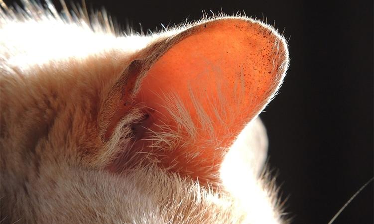 oreja-gato