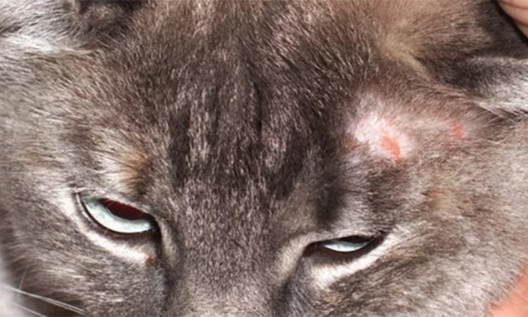 sarna gato