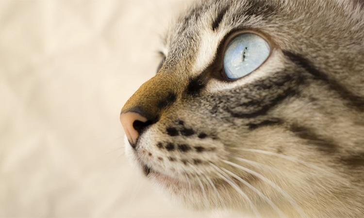 tercer-parpado-en-gatos-tratamiento