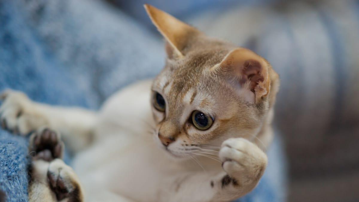 Welt kleinste katzen der Raubkatzen: Die