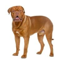 Bordeaux Dog