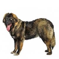 Cane da pastore del Caucaso