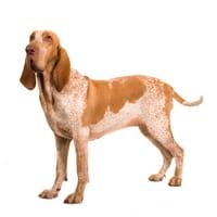 Bracco Italiano (Italian Pointing dog)