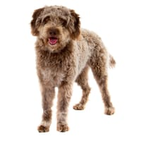 Lagotto Romagnolo (Romagna Water Dog)