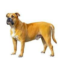 Dog z Majorki