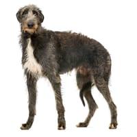 Schottischer Hirschhund