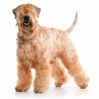 Terrier irlandés de pelo suave