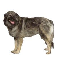 Karst Schäferhund