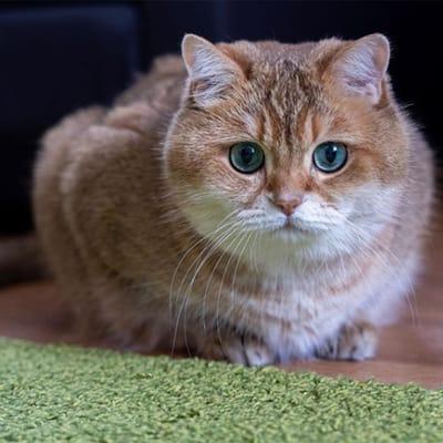 hosico gato instagram