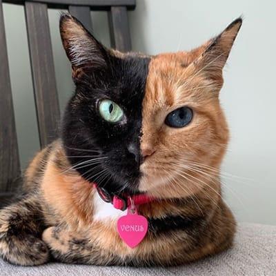 venus gato doble cara