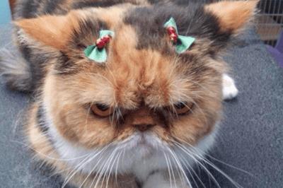 gato enfadado navidad