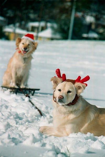 golden retriever na śniegu